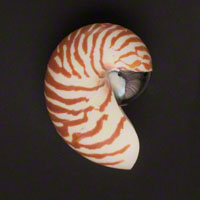 Commercial Photography Tiger Nautilus